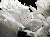 flowers of rhododendron with dew