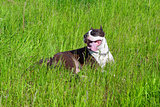 funny dog - Staffordshire terrier