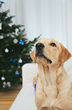 Labrador retriever dog and Christmas tree