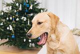 Labrador retriever dog yawning