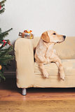 Labrador retriever sitting on sofa on Christmas