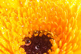 Close up of single yellow dahlia with water droplets
