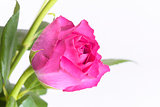 Close up of single pink rose and leaves
