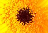Close up of single yellow dahlia