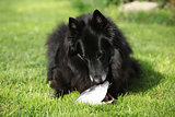 Black hungry dog eating fresh fish head