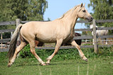 Beautiful palomino mare wunning on pasturage