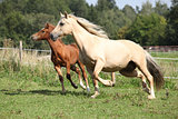 Beautiful mare with foal running