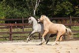Two gorgeous stallions running together