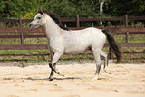 Nice grey stallion with flying mane
