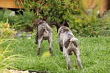 Two gorgeous puppies running in the garden