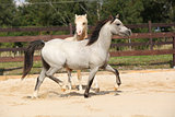 Beautiful stallions running together