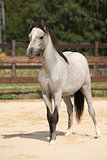 Adorable grey welsh mountain pony
