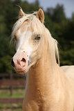 Nice palomino pony