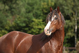 Gorgeous brown welsh cob stallion