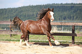 Beautiful stalion with long mane running