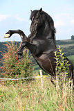 Beautiful black horse prancing on pasturage