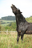 Angry black horse on pasturage
