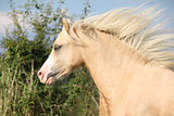 Gorgeous palomino horse with flying mane