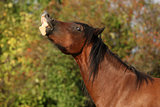 Nice brown mare showing its teeth in autumn