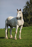 Nice white horse standing on pasturage