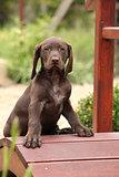 Nice brown puppy on small garden bridge