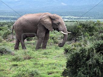 Bull Elephant (Loxodonta africana)
