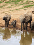 Elephant family taking a drink