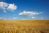 Landscape with sky and field of wheat