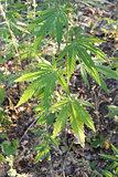 plant of hemp
