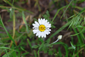 a flower of chamomile