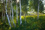 Trunks of birch trees with grass and flowers in summer
