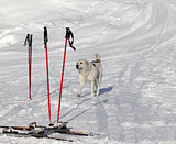 Dog and skiing equipment on ski slope at nice day