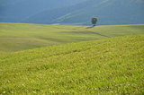 Tranquil life in a farm - lonely tree on green meadow
