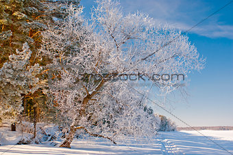Tree in inei stands by the frozen lake