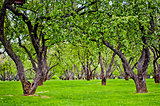Old apple garden - green alley