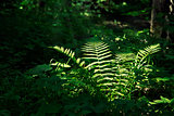 Fern in a dark forest