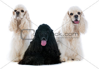 three american cocker spaniel