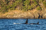 Orca with baby swimming in Alaska