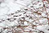 Branches with fruits in the snow
