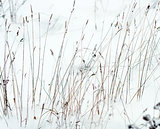 Dry grass in snow as a texture