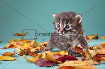 small 20 days old  kitten in autumn leaves
