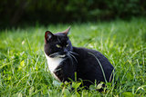 black and white cat sitting on grass