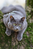 british shorthair cat climbing on the tree