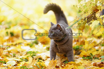 british shorthair cat outdoor walking in harness