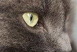close up portrait of british shorthair cat