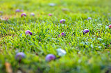 Violet and purple plum on the green grass