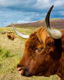 Highland cattle on scottish pasture