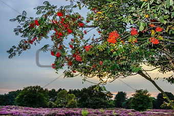Bright rowan berries on a tree