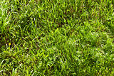 background of spring green grass