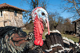 Domestic turkey closeup